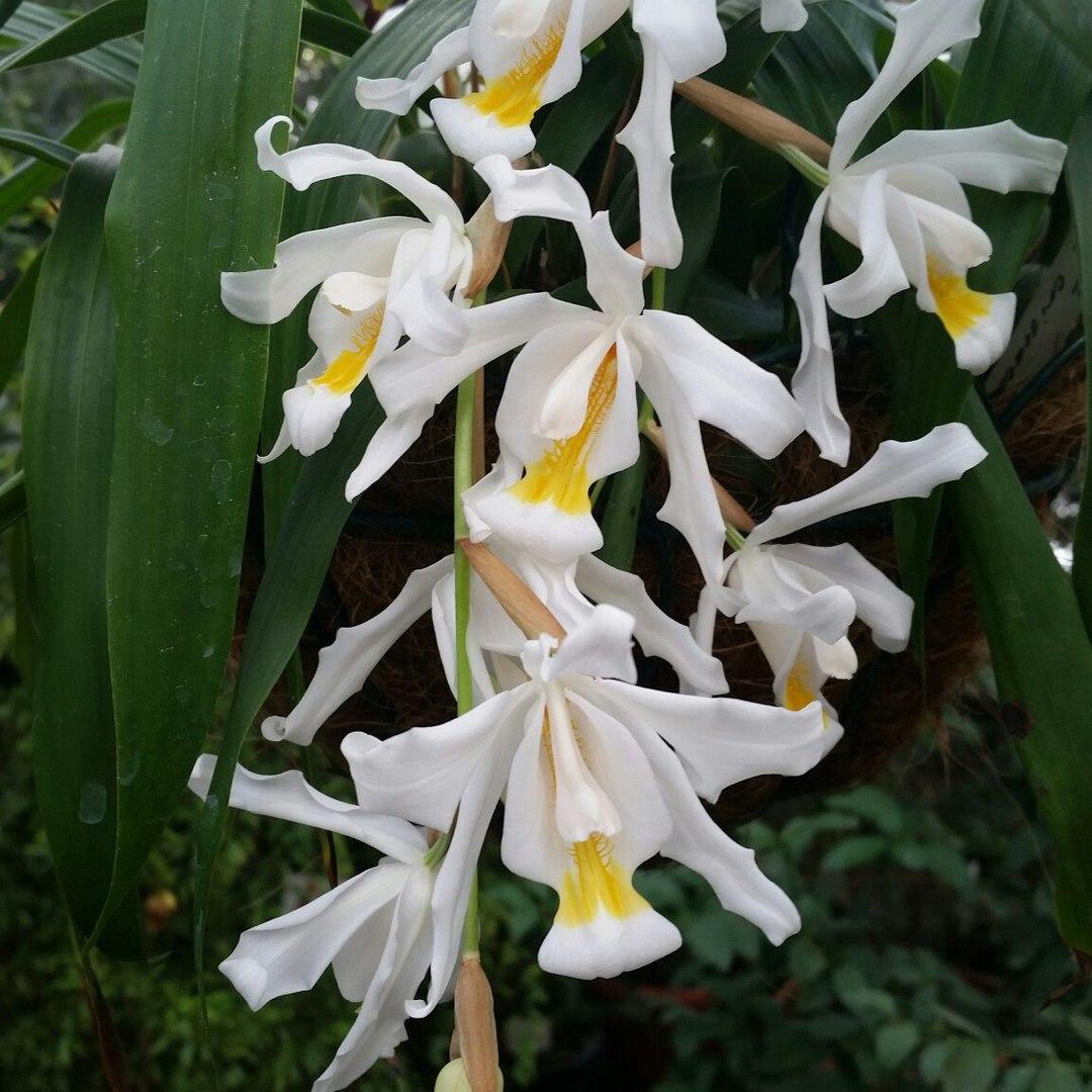 Цветение орхидеи длится всего пару недель