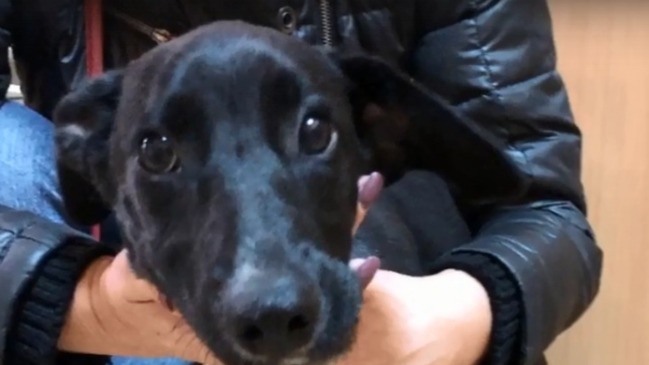 «Она бродила по улицам со сломанной челюстью»: в Волгограде спасают пятимесячного щенка