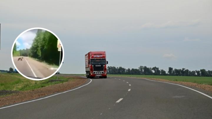 Медведь перебежал дорогу автомобилисту под Лесосибирском