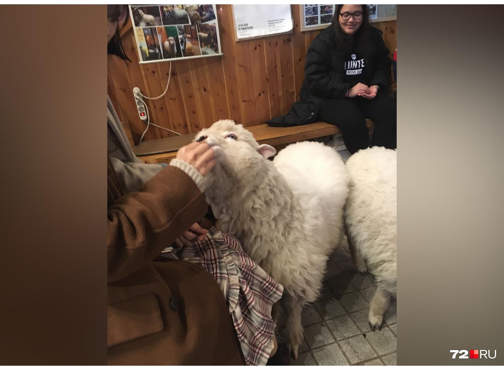 Те самые овечки. Обожают, когда их глядят и нежно обнимают