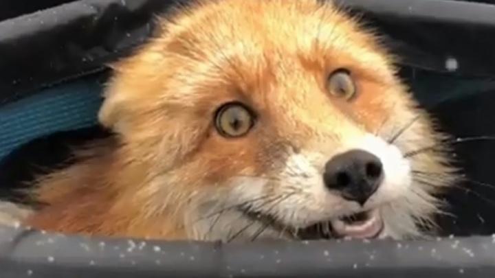 Заразились волк, лиса и собака. В трёх районах Прикамья объявлен карантин по бешенству