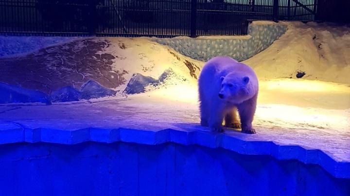 В зоопарке определили пол найденного на Диксоне медвежонка