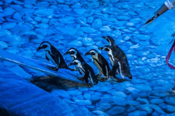 Пингвины редко становятся цирковыми артистами