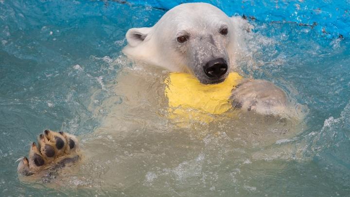 Туман для комфорта животных в жару установили в Роевом Ручье. Смотрим первые испытания у белых мишек