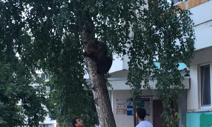 В Башкириииз передвижного зоопарка сбежал медвежонок