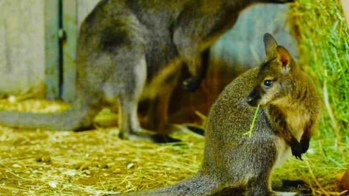 В ростовском зоопарке стали родителями Таможня и Сибиряк