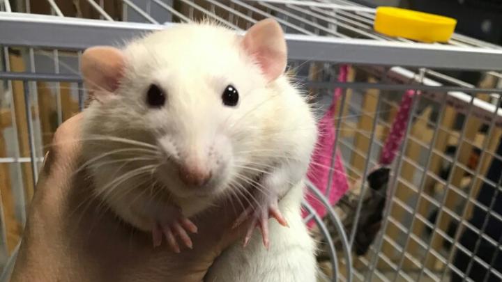 «Крыса — не подарок!»: в Тюмени зоозащитники опасаются за грызунов, которых раскупили как сувениры