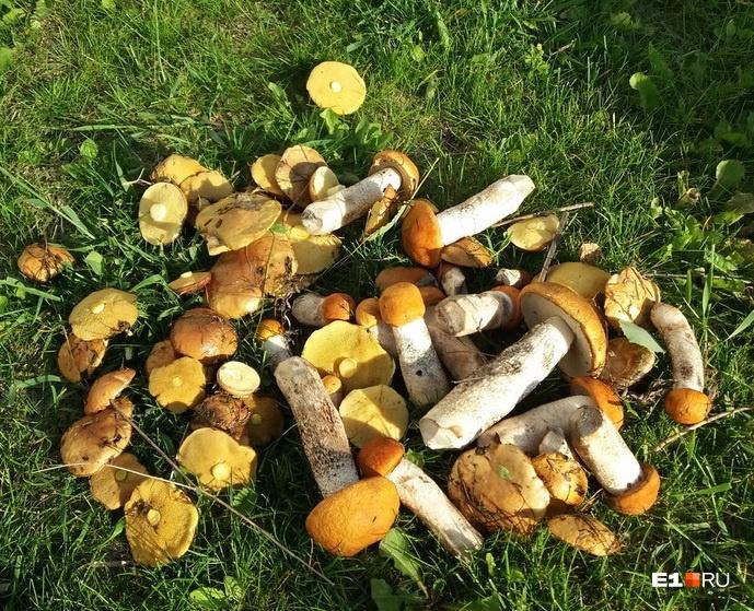Кто не испугался жары, тот нашел рыжики: в выходные уральцы насобирали грибов и ягод