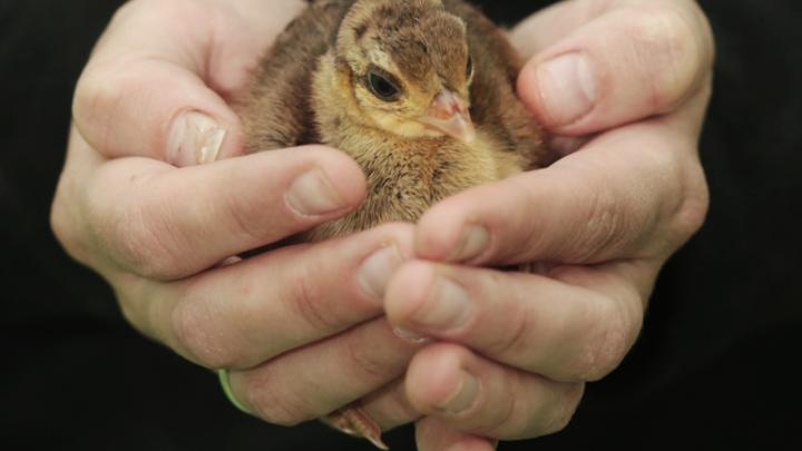 Мимиметр зашкаливает: у индийских павлинов из екатеринбургского зоопарка появились птенцы