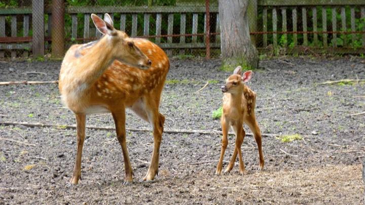В Большереченском зоопарке родился пятнистый оленёнок