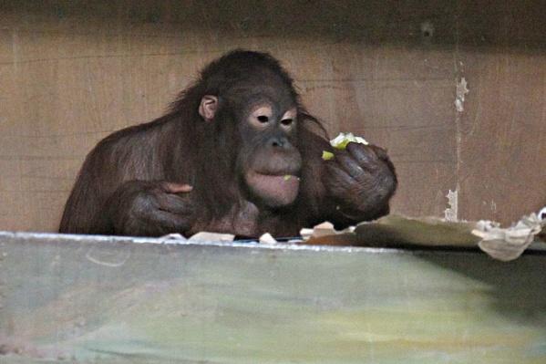 Орангутаны Мишель и Бату из Новосибирского зоопарка часто не могут поделить фрукты