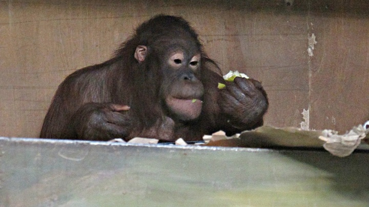 Последнее готов отдать: орангутана Бату обворовала Мишель, а остатками фруктов он поделился