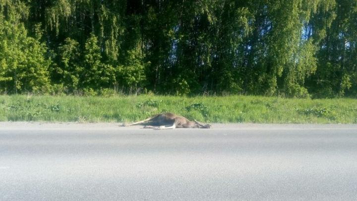 На Полевском тракте возле Горного Щита фура сбила лосёнка