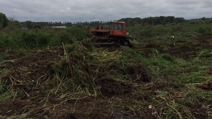 В Екатеринбурге сожгли трёхкилометровое поле конопли