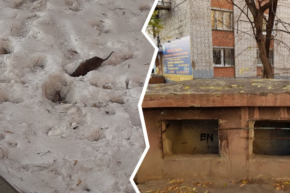 Бункер с крысами беспокоит тюменцев уже много месяцев. Травить их не могут, так как нет собственника подземного убежища