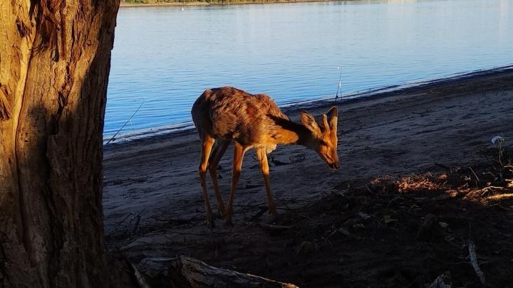 «У нее чешутся рога»: отощавшая косуля забодала рыбаков на острове Сарпинском