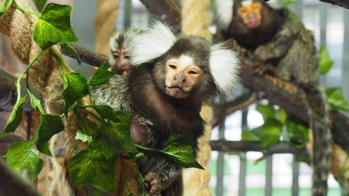 Фото: у крохотных обезьянок в зоопарке родились малыши. Они катаются на спинах и воруют еду