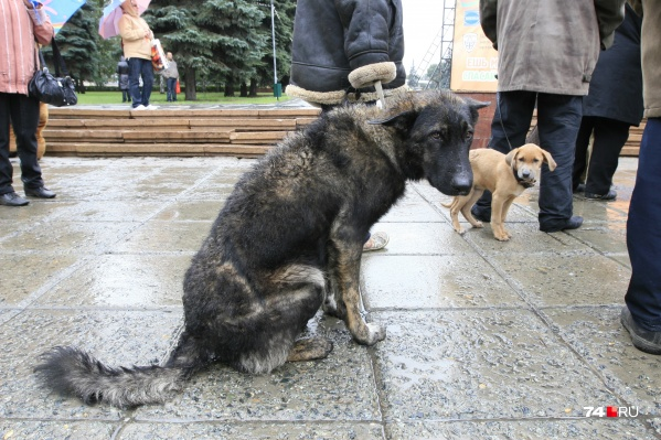 У многих сбежавших собак есть ошейники, но без адресников