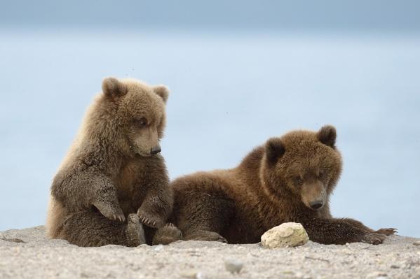 Чтобы снять фильм «Медведи Камчатки, начало жизни», операторы в течение года наблюдали за жизнью медвежат и мам-медведиц в камчатской тайге. Фильм покажут на фестивале «Флаэртиана»