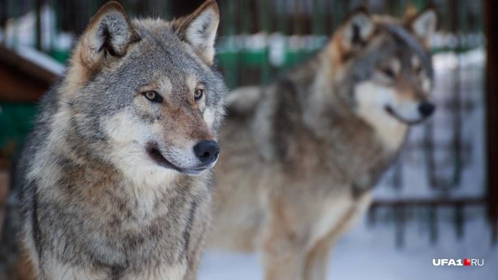 «Я видела его взгляд, умный и холодный»: депутат Госдумы из Башкирии рассказала о нашествии волков