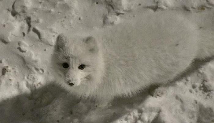 На улицах Норильска снова заметили белоснежного песца