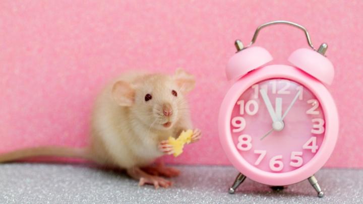 Гороскоп на удачу: что принесет самарцам год Крысы