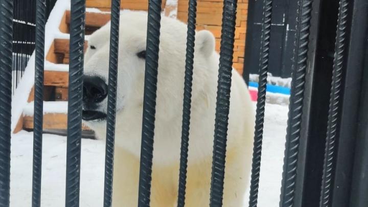 Спасённая в Норильске медведица похорошела и поправилась до 180 кг