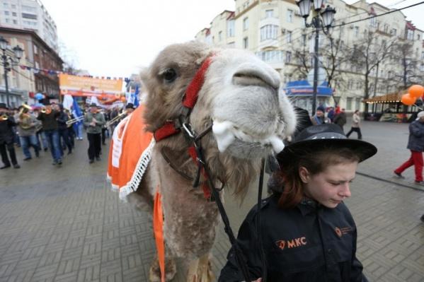 Ассоциация малой энергетики Урала традиционно вывела на Кировку верблюда Григория