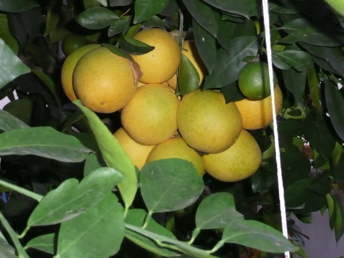 В оранжереях растут и цитрусовые