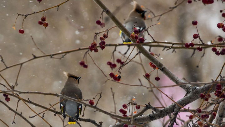 Нашествие лесных птиц: в Новосибирске заметили стаи дроздов и свиристелей