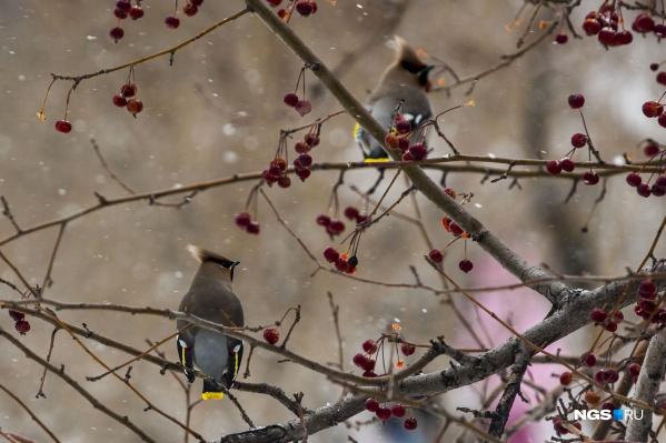 Свиристели залетают в город зимой, только если на деревьях много ранеток и рябины