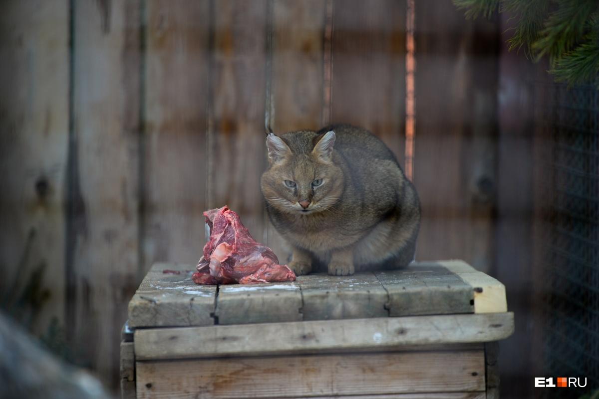 Камышовый кот, на фото самка Кнопа