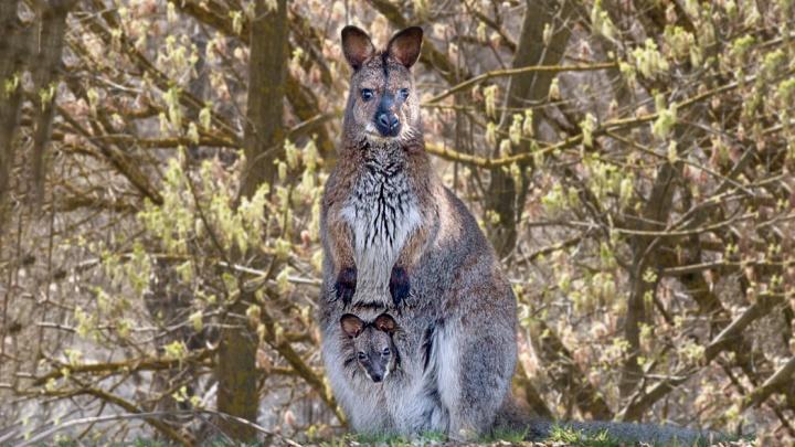 В ростовском зоопарке родился второй за год кенгуренок