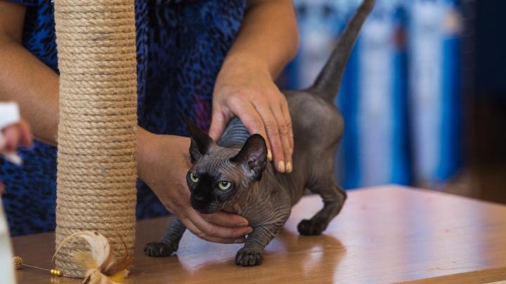 200 характеров: новосибирцам показали великолепных породистых кошек