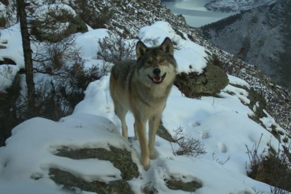 Радостный волк в Саяно-Шушенском заповеднике