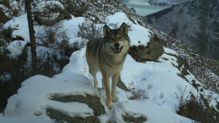 Радостного волка во время охоты поймали фотоловушки красноярского заповедника