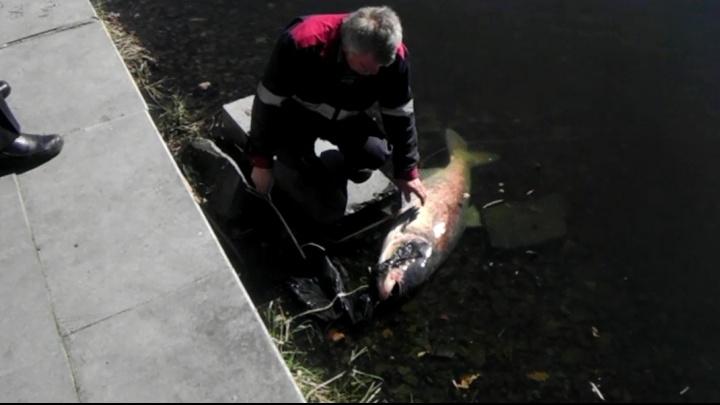 """Пытались спасти: возле """"Космоса"""" екатеринбуржцы обнаружили огромную рыбу с полиэтиленом в жабрах"""