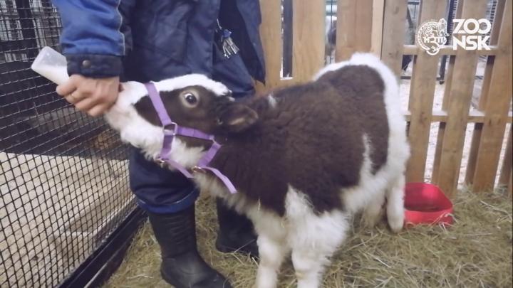 В Новосибирском зоопарке родился як: детёныша пришлось выкармливать вручную