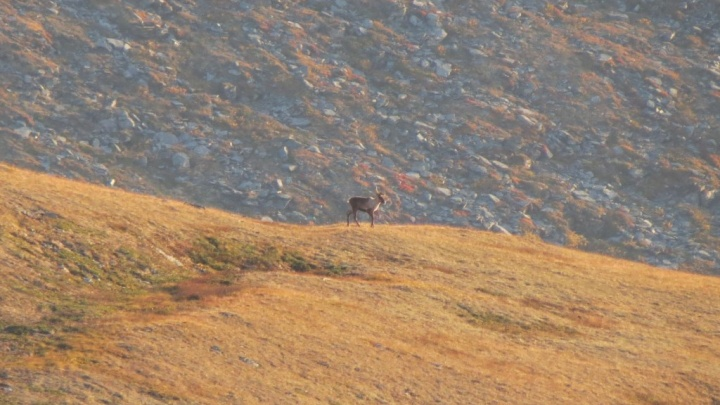 В Саяно-Шушенском заповеднике пересчитали редких северных оленей