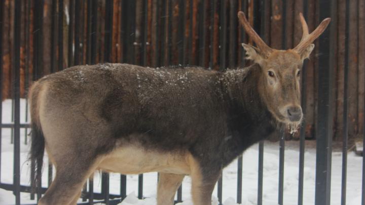 Краснокнижный олень Тор переехализ закрывающегося зоопарка «Мишутка» в «Лимпопо»