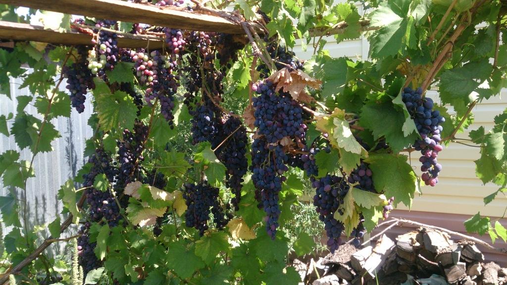 Теперь Светлана выращивает виноград