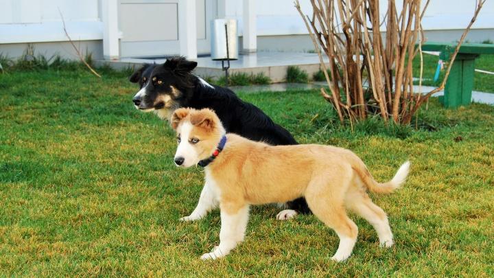 Трехмесячный рыжий щенок из Красноярска отправился в Крым работать и искать взрывчатку