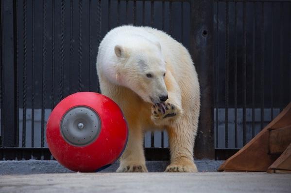 Эта красавица — норильская медведица Марфа