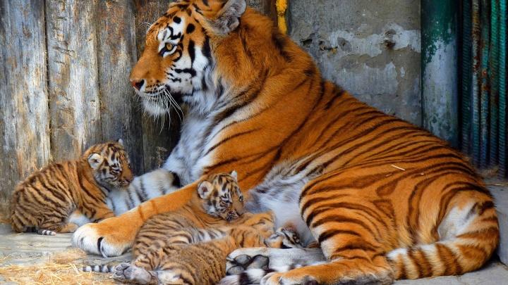 В Большереченском зоопарке родились четверо тигрят: появилось первое фото