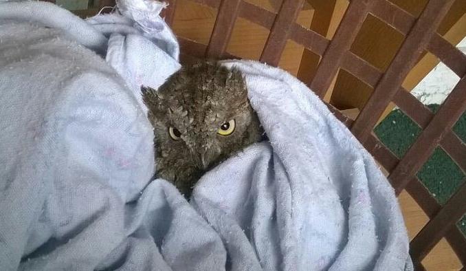 В центре Новосибирска нашли раненую сову на поводке