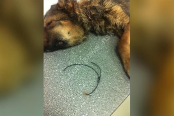 Сейчас собака находится у ветеринаров