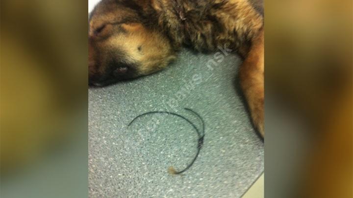 Новосибирцы нашли на улице собаку с удавкой на шее — она чудом выжила