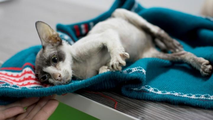 Ветеринары спасают крошечного тощего сфинкса с переломами и гематомами