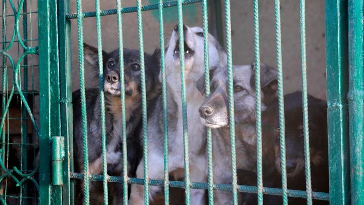 Ветеринары продолжили проверять отловленных собак. Чуму вновь не нашли