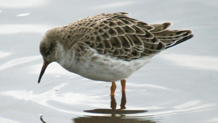 В Новосибирске заметили драчливых птиц с яркими воротниками